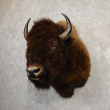 American Buffalo Shoulder Mount For Sale #20297 @ The Taxidermy Store