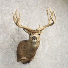 Mule Deer Shoulder Mount For Sale #20490 @ The Taxidermy Store