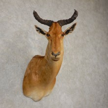 Coke's Hartebeest Shoulder Mount For Sale #20513 @ The Taxidermy Store