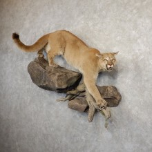 Mountain Lion Life-Size Mount For Sale #20821 @ The Taxidermy Store