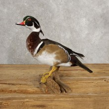 Wood Duck Taxidermy Bird Mount For Sale #21047 @ The Taxidermy Store