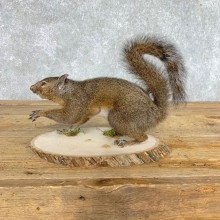 Grey Squirrel Life-Size Mount For Sale #21517 @ The Taxidermy Store