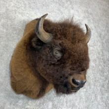 American Buffalo Shoulder Mount For Sale #21733 @ The Taxidermy Store