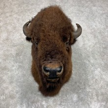 American Buffalo Shoulder Taxidermy Mount For Sale #21734 @ The Taxidermy Store