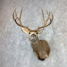 Mule Deer Shoulder Mount For Sale #21850 @ The Taxidermy Store