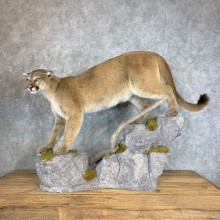 Mountain Lion (Cougar) Life-Size Taxidermy Mount For Sale