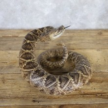 Western Diamondback Rattlesnake Mount For Sale #22229 @ The Taxidermy Store