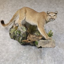 Mountain Lion Life-Size Mount For Sale #22578 @ The Taxidermy Store