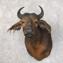 African Forest Buffalo Shoulder Taxidermy Mount For Sale #22584 @ The Taxidermy Store
