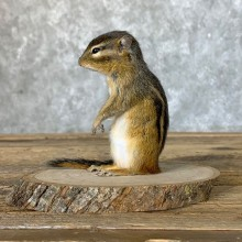Chipmunk Life-Size Mount For Sale #22635 @ The Taxidermy Store