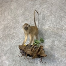 Vervet Monkey Life-Size Mount For Sale #22758 @ The Taxidermy Store