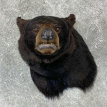 Black Bear Shoulder Mount For Sale #23095 @ The Taxidermy Store