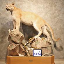 Mountain Lion / Cougar