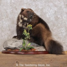 Standing Alaskan Wolverine Life-Size Mount #12293 For Sale @ The Taxidermy Store