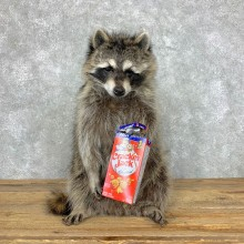 """Cracker Jack"" Raccoon Taxidermy Mount For Sale"