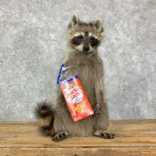 """Cracker Jack"" Raccoon Mount For Sale #23072 @ The Taxidermy Store"