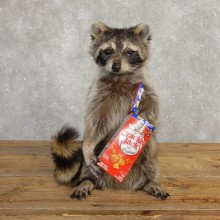 """Cracker Jack"" Raccoon Mount For Sale #20187 @ The Taxidermy Store"