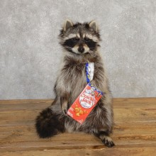 """Cracker Jack"" Raccoon Mount For Sale #20189 @ The Taxidermy Store"