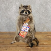 """Cracker Jack"" Raccoon Mount For Sale #20190 @ The Taxidermy Store"