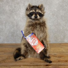 """Cracker Jack"" Raccoon Mount For Sale #20191 @ The Taxidermy Store"