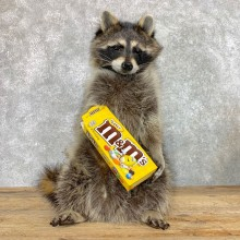 """""""M&M"""" Raccoon Mount For Sale #22415 @ The Taxidermy Store"""