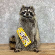 """""""M&M"""" Raccoon Mount For Sale #22417 @ The Taxidermy Store"""