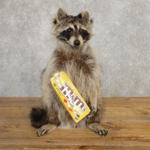 """M&M"" Raccoon Taxidermy Mount For Sale"