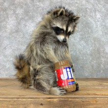 """""""Peanut Butter"""" Raccoon Mount For Sale #22408 @ The Taxidermy Store"""