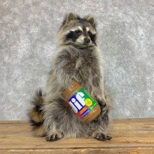 """""""Peanut Butter"""" Raccoon Mount For Sale #22409 @ The Taxidermy Store"""