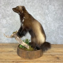 Wolverine Life-Size Mount For Sale #21400 @ The Taxidermy Store