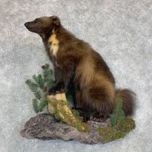 Wolverine Life-Size Mount For Sale #22480 @ The Taxidermy Store