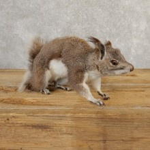 Abert's Squirrel Life-Size Taxidermy Mount For Sale