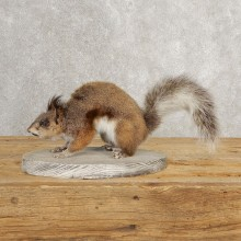 Abert's Squirrel Life-Size Mount For Sale #21023 @ The Taxidermy Store
