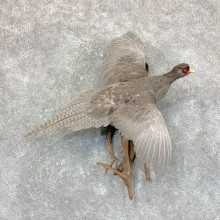 Abyssinian Pheasant Taxidermy Bird Mount For Sale