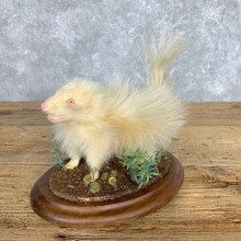 Adolescent Albino Skunk Taxidermy Mount #21793 For Sale @ The Taxidermy Store