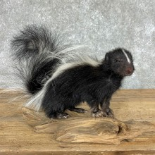 Adolescent Skunk Taxidermy Mount #22452 For Sale @ The Taxidermy Store