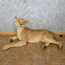 African Lion Life Size Mount For Sale #14472 @ The Taxidermy Store