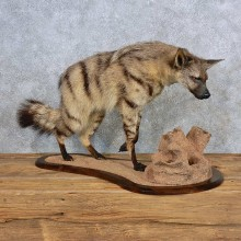 African Aardwolf Taxidermy Mount For Sale
