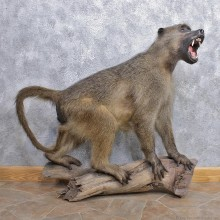 Chacma Baboon Taxidermy Life Size Mount #12442 For Sale @The Taxidermy Store