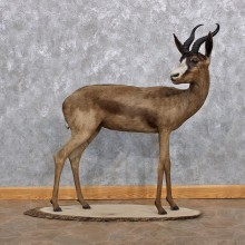 African Black Springbok Life Size Taxidermy Mount #10238 For Sale @ The Taxidermy Store