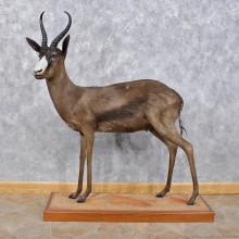African Black Springbok Life-Size Taxidermy Mount For Sale