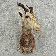 African White Blesbok Taxidermy Shoulder Mount For Sale