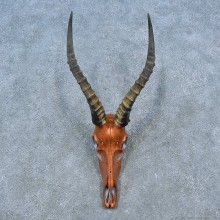 Blesbok Skull & Horn European Mount For Sale #15495 @ The Taxidermy Store
