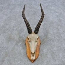 Blesbok Skull & Horn European Mount For Sale #14627 @ The Taxidermy Store