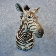 African Burchell's Zebra Shoulder #12022 For Sale @ The Taxidermy Store