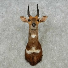 Cape Bushbuck Shoulder Mount For Sale #14566 @ The Taxidermy Store