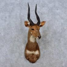 Cape Bushbuck Taxidermy Shoulder Mount For Sale