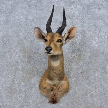Limpopo Bushbuck Shoulder Mount For Sale #15245 @ The Taxidermy Store