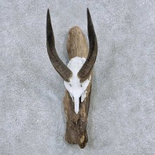 Bushbuck Skull & Horn Mount For Sale #13894 For Sale @ The Taxidermy Store