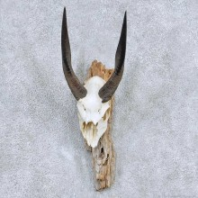 Bushbuck Skull & Horn Mount For Sale #13895 For Sale @ The Taxidermy Store